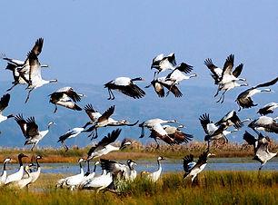 Black necked cranes Yunnan.jpg