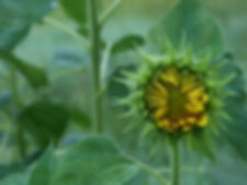Sunflower in a Sea of Green