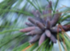 Blue Pine Strobili