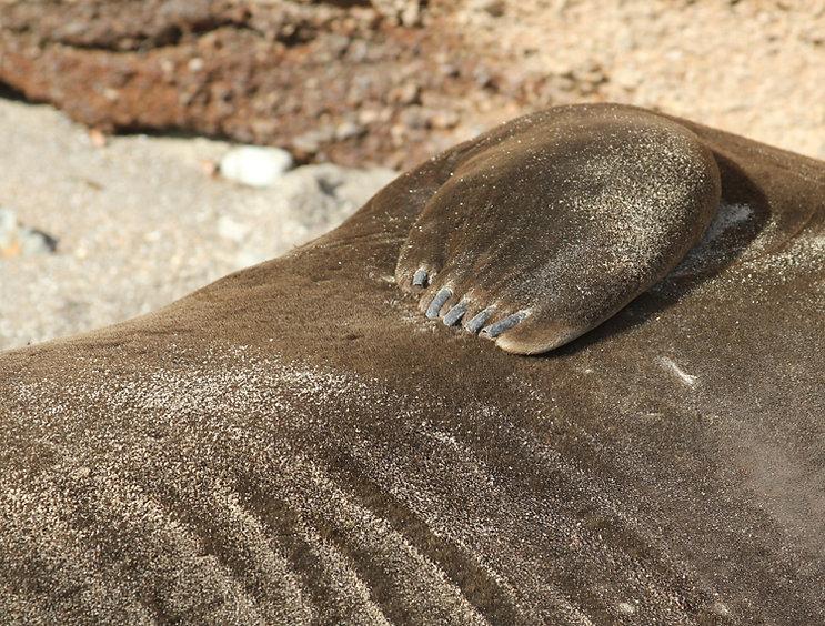 Elephant Seal Closeup