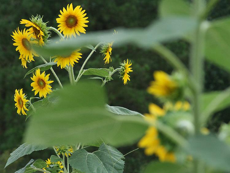 Sunflowers Near and Far
