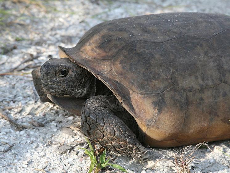 Tortoise on North Captiva Island