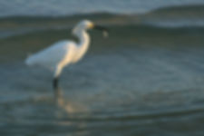 Egret Gets a Minnow
