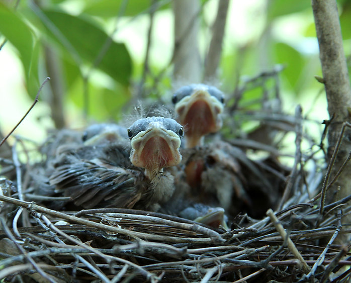 Baby Cardinals Evening Light Day Nine
