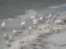 Ibis, Royal Terns and Seagulls