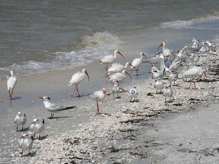 Ibis, Royal Terns and Seagulls