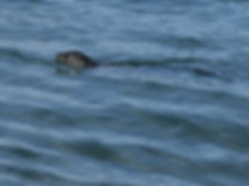 Spotted Sea Lion at Moss Landing Beach, California