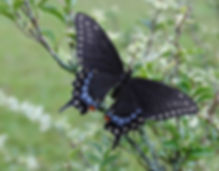 Black Swallowtail on Privet Bush
