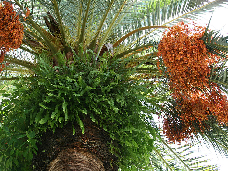 Date Palm with Inflorescence and Ferns