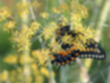 Newly Hatched Black Swallowtail Hides Within Fennel