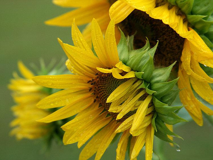 Three Sunflower Blooms