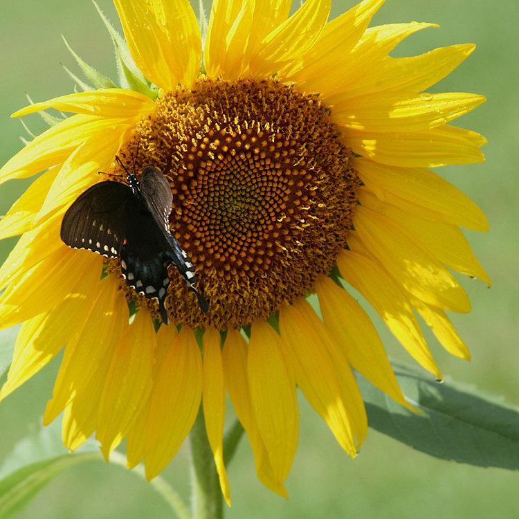 Black Swallowtail on Sunflower