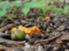 Chanterelles in Georgia