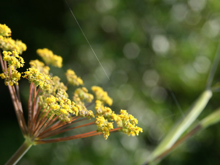 Spotlight on Fennel Bloom