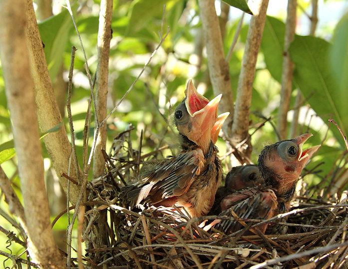 Baby Cardinals Day Nine
