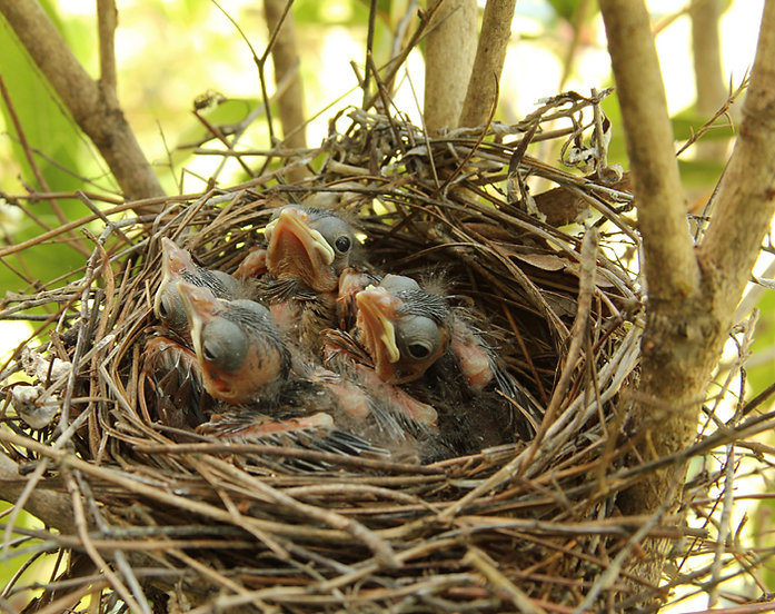 Baby Cardinals Day Eight