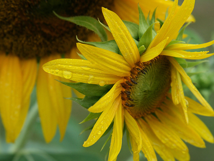 Rain Drops on Sunflower Petals