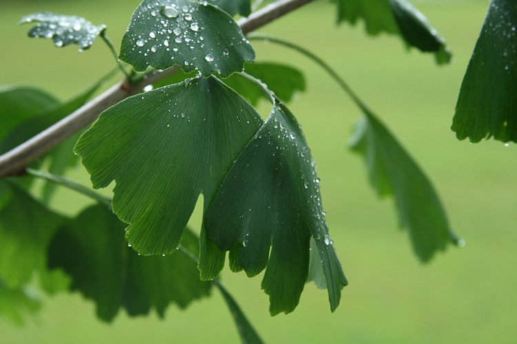 Ginkgo in the Spring