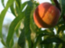 Ripe Peach in Evening Light