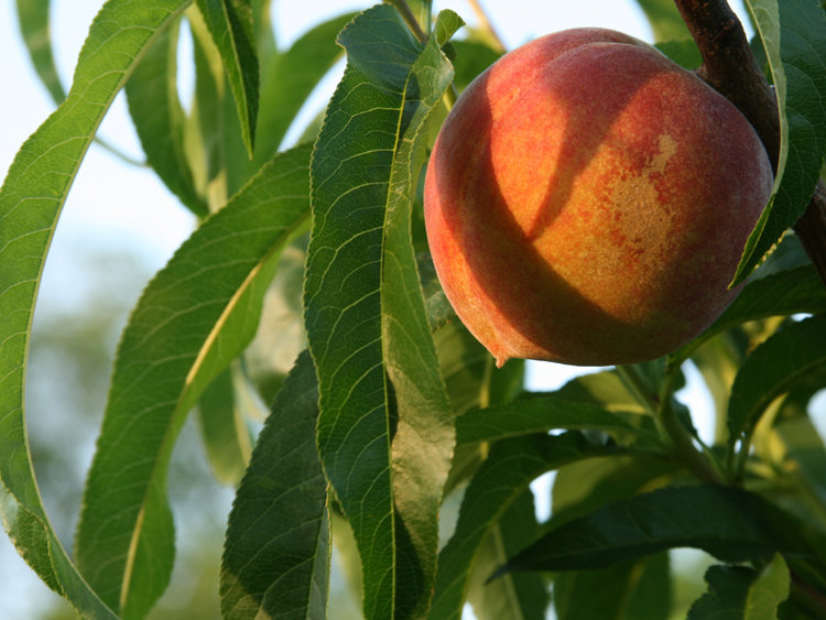 Ripe Peach in Evening Light