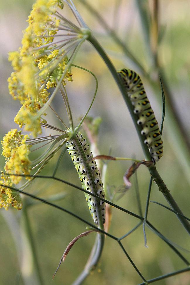 Black Swallowtail Caterpillar Dorsal View