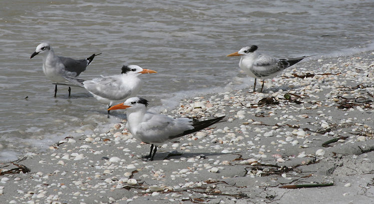 Three Royal Terns and a Seagull