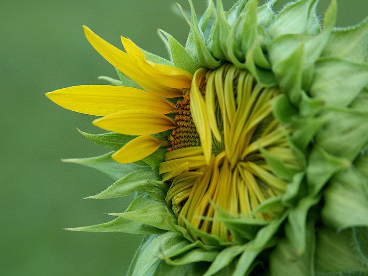 Sunflower Peek-a-Boo