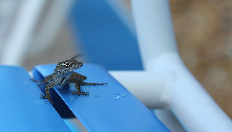 Lizard on Poolside Chair
