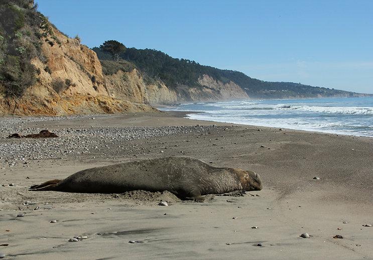 Elephant Seal at Cove Beach
