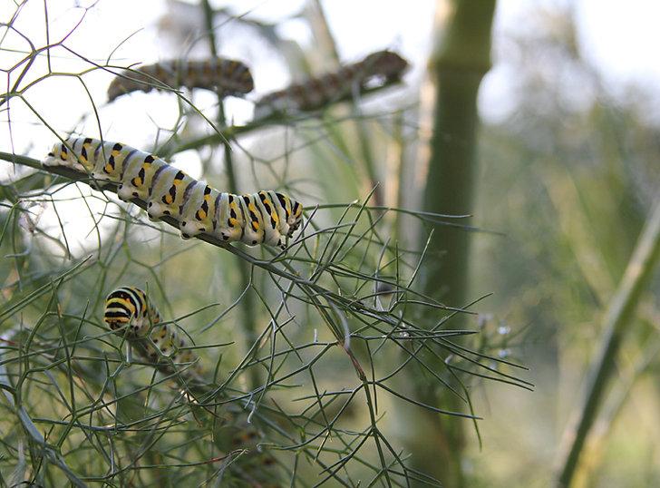 Black Swallowtail Caterpillars on Fennel