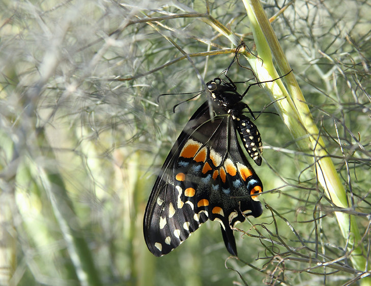 Black Swallowtail Emerges from Cocoon and Dries in the Sun