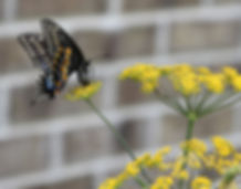 Black Swallowtail Laying Eggs in Fennel Blooms