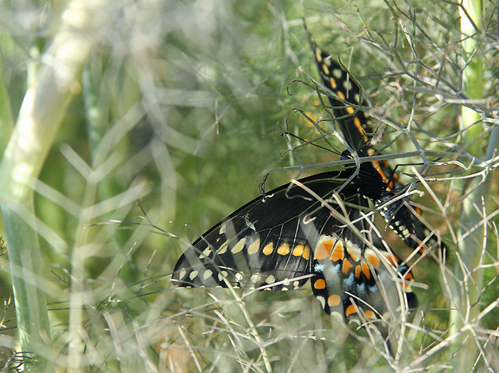 Newly Emerged Black Swallowtail Dries its Wings in Sun