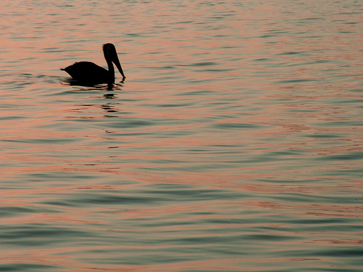 Pelican on Water at Dawn