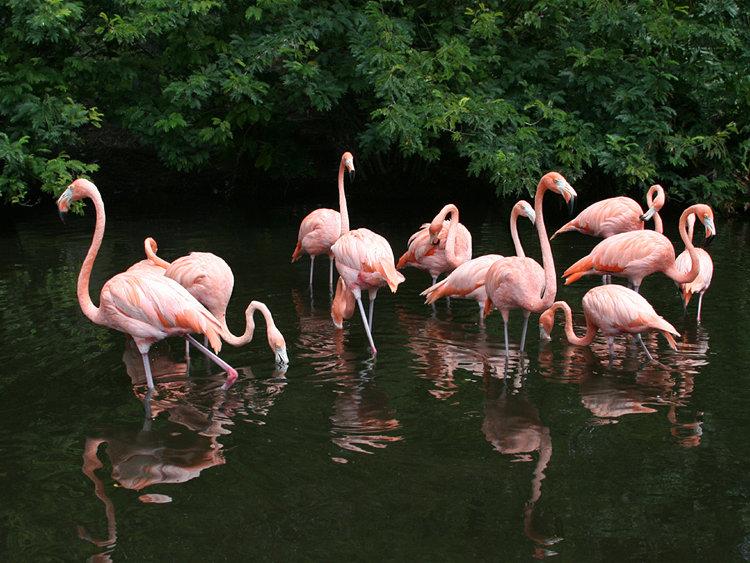 Flamingo Flock in Pond - Sarasota Jungle Gardens