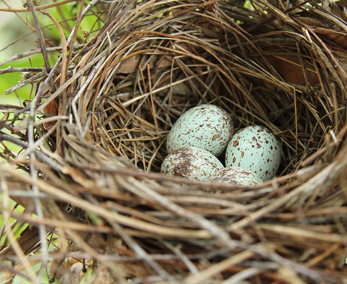 Four Cardinal Eggs