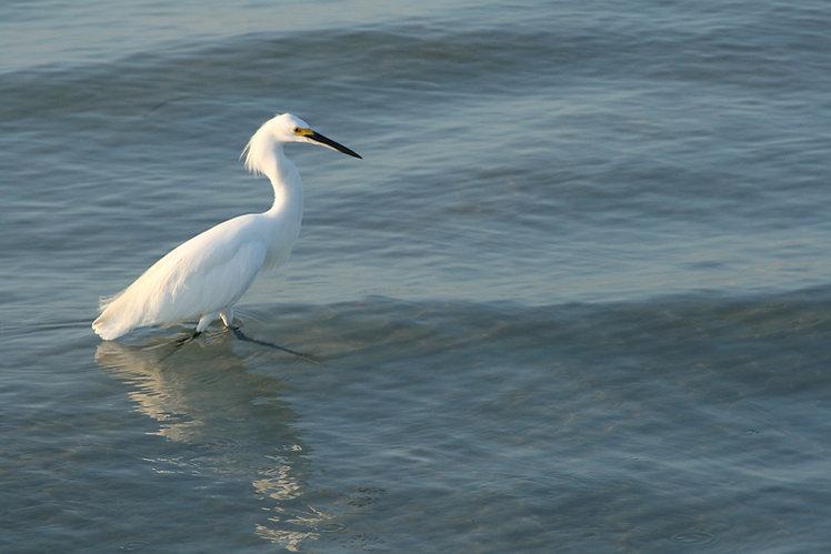 Egret Wading for Breakfast