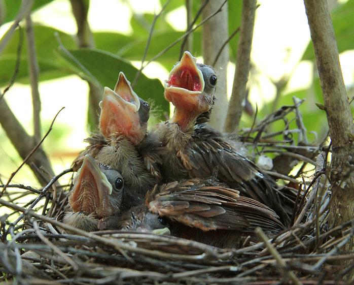 Baby Cardinals Day Ten
