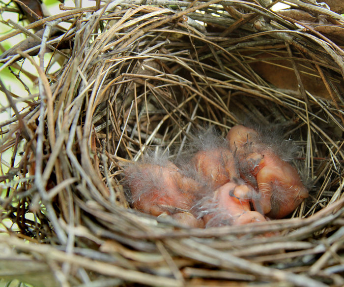 Baby Cardinals Day One