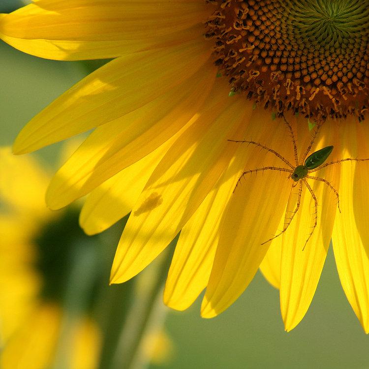 Spider Stalks Fly on Sunflower Bloom