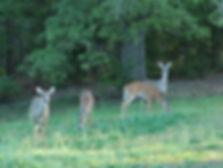 Four Georgia Whitetail Deer in Back Yard