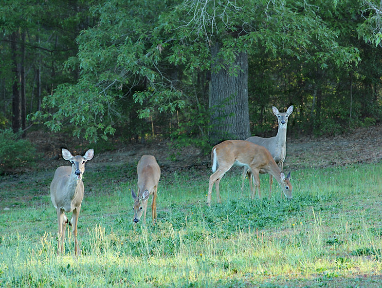 Four Georgia Whitetail Deer in Back Yard