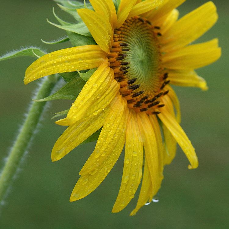 Sunflower Looks Like Daisy