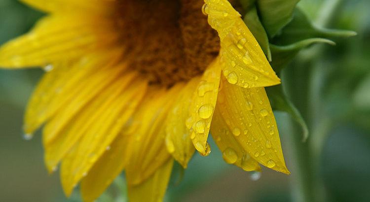 Sunflower in Rain