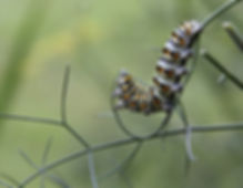 Black Swallowtail Caterpillar Eats Fennel