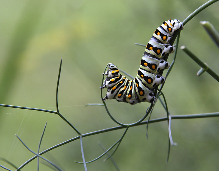 Black Swallowtail Caterpillar Eats Fennel