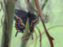 Newly Emerged Black Swallowtail Dries its Wings