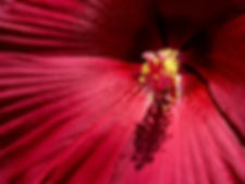Red Dinnerplate Hibiscus