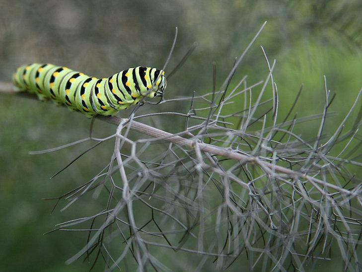 Black Swallowtail Caterpillar Consuming Fennel