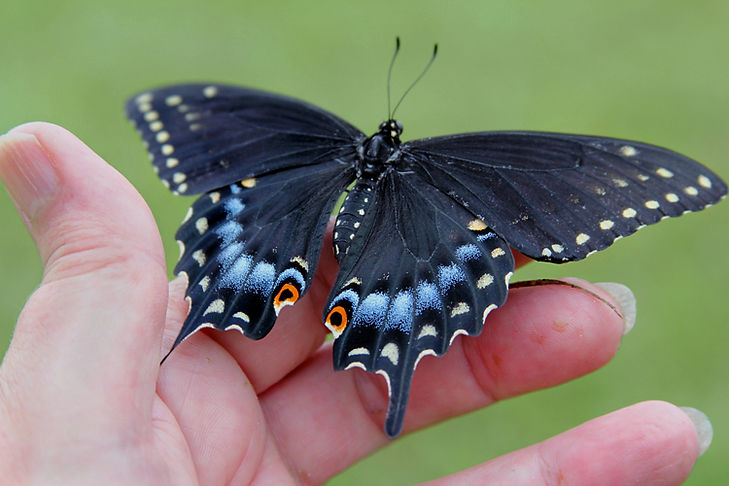 Black Swallowtail Butterfly in Human Hand